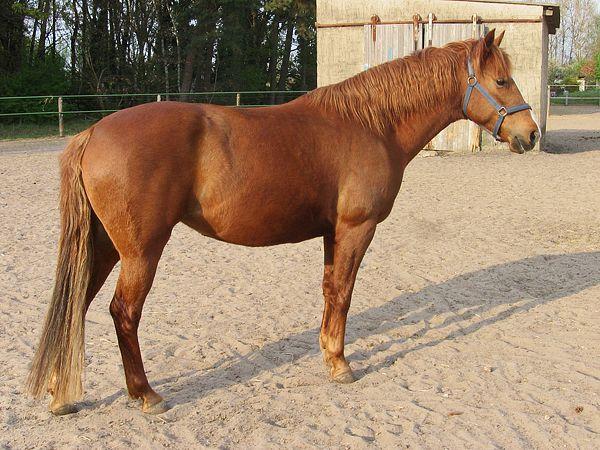 Barb (Berber) horse